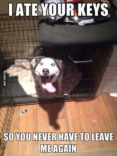 Excited Husky in dog kennel. Caption: I ate your keys so you never have to leave me again