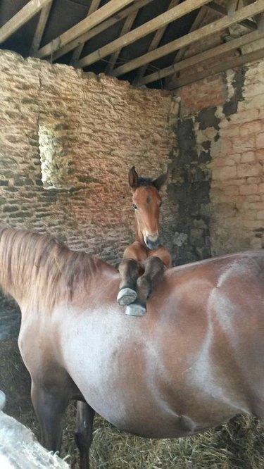 Foal on horse's back.