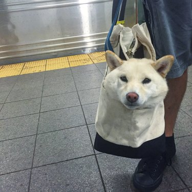 Dog in a tote bag, being toted