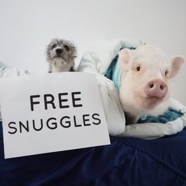 "Pig and dog with sign that says ""Free Snuggles"""
