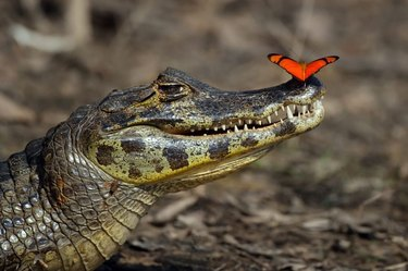 Butterfly perched on caiman's nose.