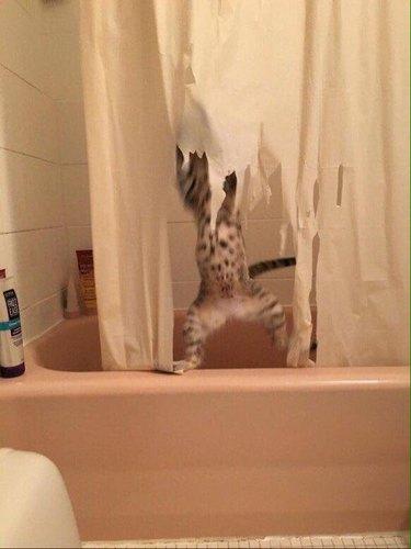 Kitten shredding shower curtain (4)