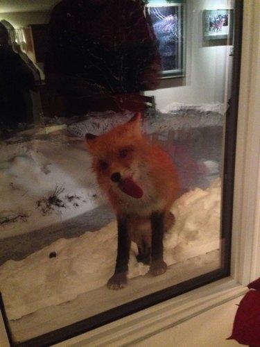 Fox licking window