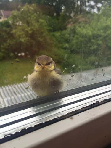 Angry looking sparrow