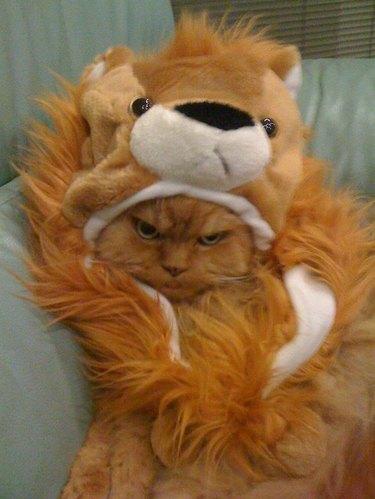 Sad cat in a lion costume