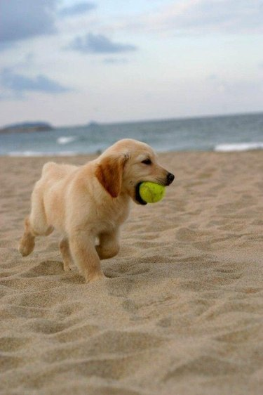 Dog on beach with tennis ball.