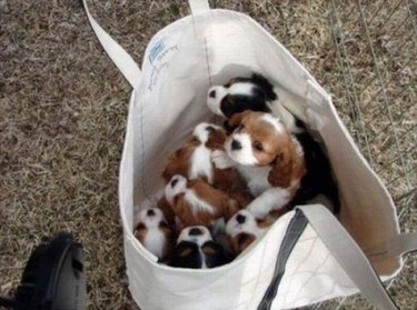 Puppies in tote bag.