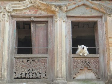 Dog howling from second floor window.