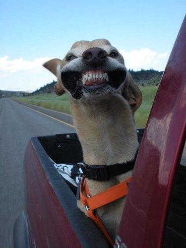 Wind pulls back dog's cheeks to show teeth.