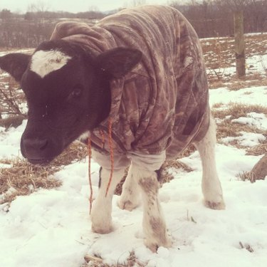 Cow wearing camouflage hoodie.