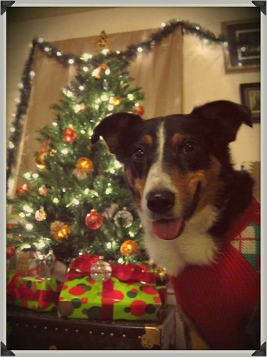 Dog wearing sweating sitting in front of Christmas tree