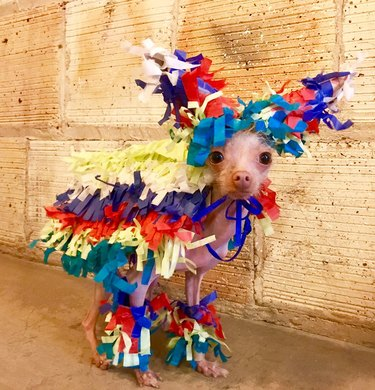 Dog dressed up like a pinata