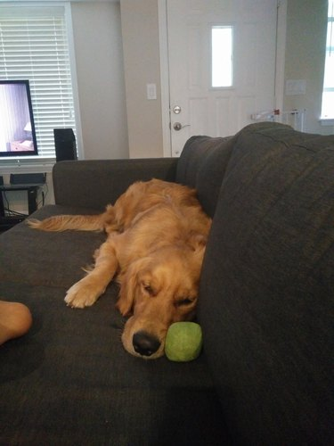 Dog sleeping on couch with tennis ball.