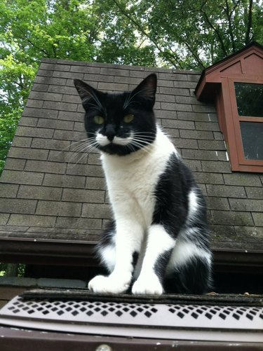 handlebar mustache cat