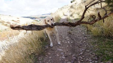 Dog carrying large branch