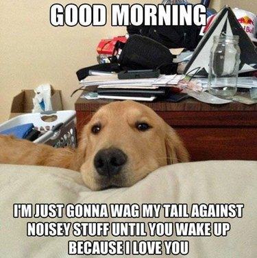 Dog resting its chin on bed. Caption: Good morning. I'm just gonna wag my tail against noisey stuff until you wake up