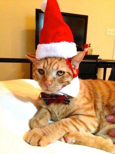 Annoyed cat wearing Santa hat.