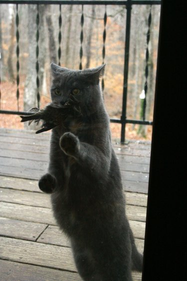 Cat looking through window and holding a dead bird in its mouth.