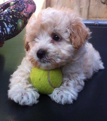 Small dog resting head on tennis ball.