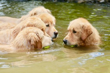 Dog in a river with tennis ball in its mouth, facing off against four other dogs with tennis balls.