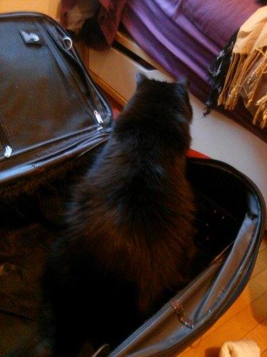 Big cat sits in suitcase.