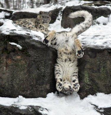 Snow leopard falling off snowy rock.