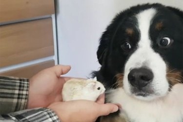 Skeptical dog thinks hamster is lava
