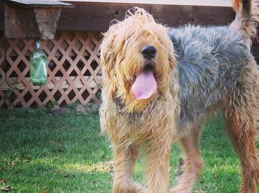 Otterhound with tongue sticking out
