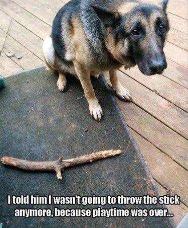 German Shepherd is sad because playtime is over