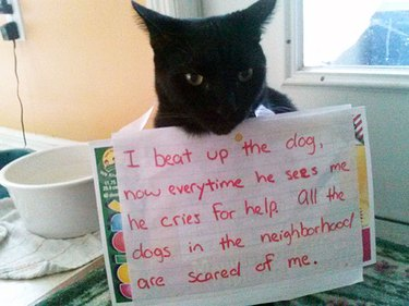"""Cat wearing sign that says """"I beat up the dog, now everytime he sees me he cries for help. All the dogs in the neighborhood are scared of me."""""""