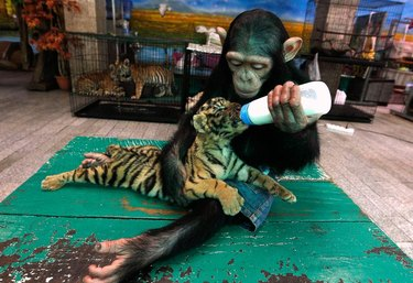 Chimp feeds tiger cub from baby bottle