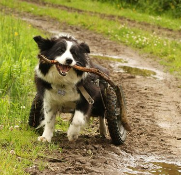 Dog in wheelchair with stick on dirt road