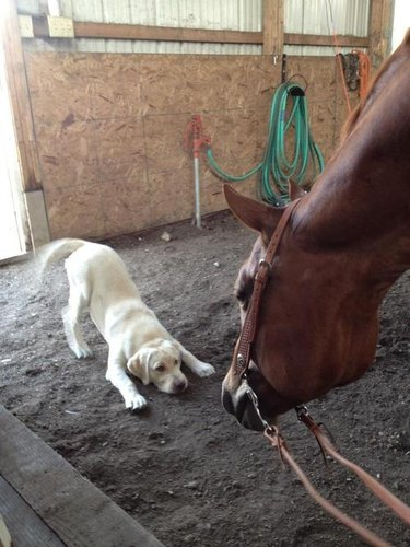 Puppy meeting horse.