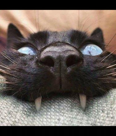 Close up of a cat biting