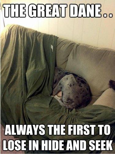 Great Dane hides its head under a blanket.