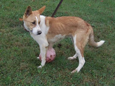 This Dog Was Dragging Around a Massive, Six-Pound Tumor for Months Before Vets Saved His Life