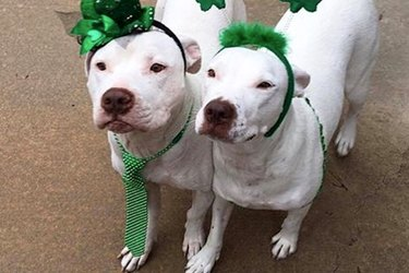 Pit Bull Soulmates Share A Love Connection Straight Out Of A Romance Novel