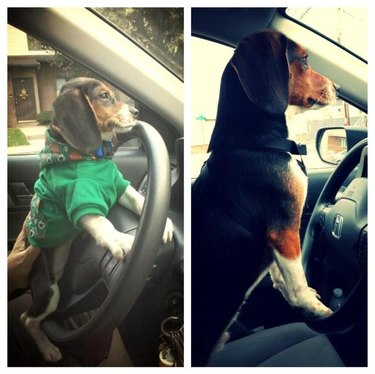 Side by side photos of dog behind wheel of a car as a puppy and dog as an adult.