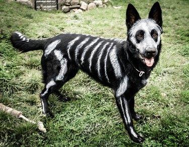Black German Shepherd with skeleton paint