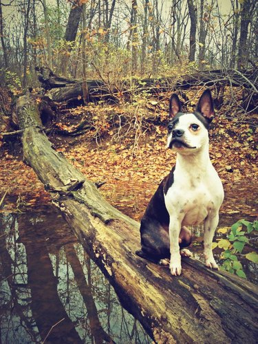 A black and white Boston terrier on a walk in the forest