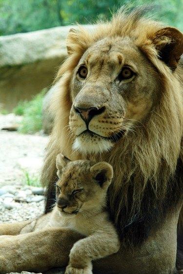 Lion cub sleeps on adult male lion's arm.