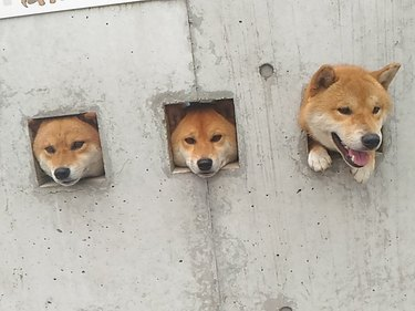 Three dogs sticking their heads through holes in concrete wall.