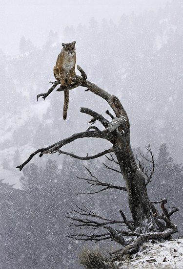 Cougar sitting in a very tall tree.