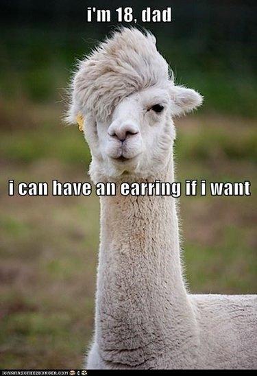 Llama with funny haircut.