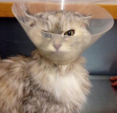 Angry-looking cat in veterinary cone.