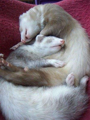 Two sleeping ferrets cuddled together.