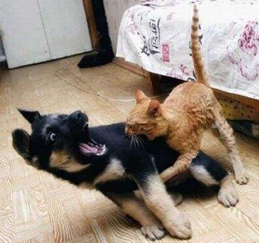 Kitten biting puppy