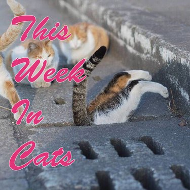 This Week In Cats hero image