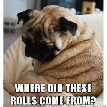 Chubby pug looking at its fat rolls.