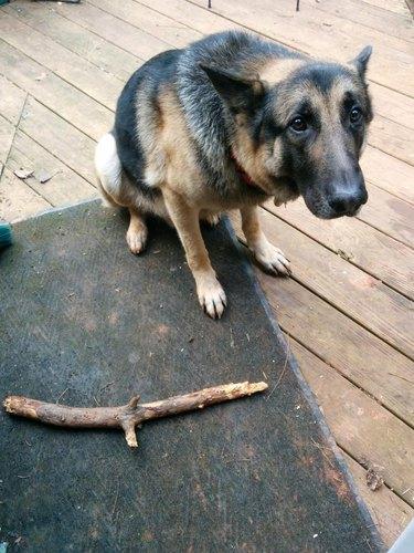 Dog next to stick.